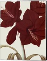 Amaryllis I Fine-Art Print