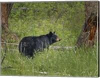 Black Bear Sow Watching Cubs Fine-Art Print