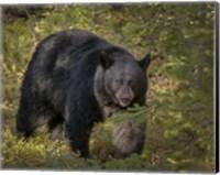 Black Bear Sow Fine-Art Print