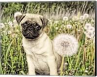 Pug with Dandelion Fine-Art Print