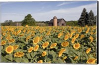 Sunflowers & Barn, Owosso, MI 10 Fine-Art Print