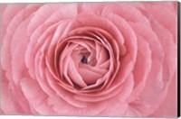 Pink Persian Buttercup Flower Fine-Art Print