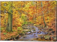 Beech Forest In Autumn, Ilse Valley, Germany Fine-Art Print