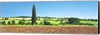 Cypress In Poppy Field, Tuscany, Italy Fine-Art Print