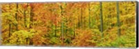 Beech Forest in Autumn, Kassel, Germany Fine-Art Print