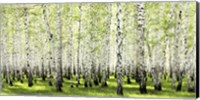 Birch Forest in Spring Fine-Art Print
