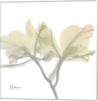 Sunday Morning Orchid Fine-Art Print