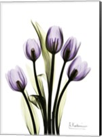 Regal Tulip B13 Fine-Art Print