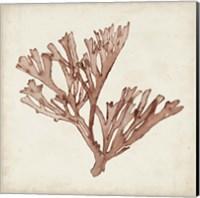 Seaweed Specimens XIII Fine-Art Print