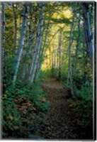 White Birch and Yellow Leaves in the White Mountains, New Hampshire Fine-Art Print