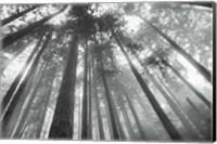 Fir Trees III BW Fine-Art Print
