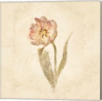 May Wonder Tulip on White Crop Fine-Art Print
