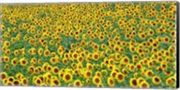 Sunflower field, France Fine-Art Print