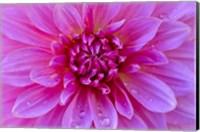 Fuchia-Pink Dahlia Fine-Art Print
