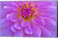 Violet-Pink Dahlia Flower Fine-Art Print