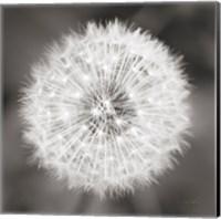 Dandelion Seedhead Fine-Art Print