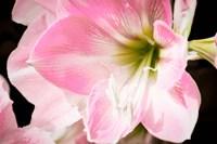 Soft Petals Fine-Art Print