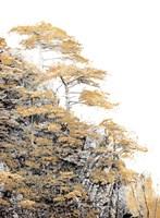 Immortal Pine Fine-Art Print