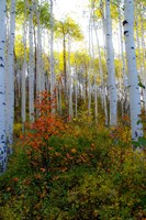 Aspen in the Day Fine-Art Print