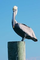 Pelican Perched II Fine-Art Print