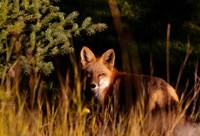 Fox Stare Fine-Art Print
