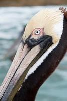 Bayside Pelican Fine-Art Print