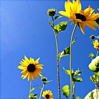 Sunflowers and Sky Fine-Art Print