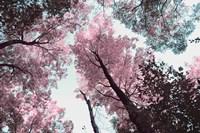 Blooming Cherry Blossom Fine-Art Print