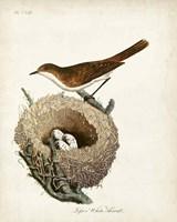 Lesser White-Throat and Nest Fine-Art Print