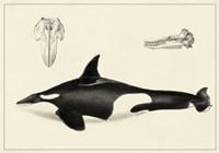 Antique Whale Study I Fine-Art Print