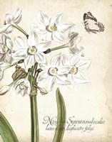 Narcissus Botanique I Fine-Art Print