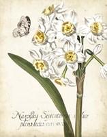 Narcissus Botanique II Fine-Art Print