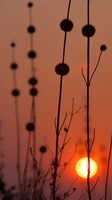 Okavango Delta, Botswana Africa Thistles At Sunset Fine-Art Print