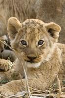 Okavango Delta, Botswana A Close-Up Of A Lion Cub Fine-Art Print