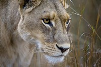 Okavango Delta, Botswana Close-Up Of A Female Lion Fine-Art Print