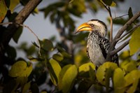 Etosha National Park, Namibia, Yellow-Billed Hornbill Perched In A Tree Fine-Art Print