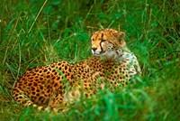 Cheetah Lying In Grass On The Serengeti Fine-Art Print