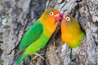 Two Fischer's Lovebirds Nuzzle Each Other, Tanzania Fine-Art Print