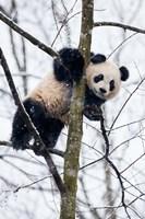 China, Chengdu Panda Base Baby Giant Panda In Tree Fine-Art Print