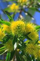 A Bright Yellow Wattle Tree In Suburban Cairns, Queensland, Australia Fine-Art Print