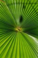 Pattern On Palm Leaf, Cairns Botanic Gardens, Queensland, Australia Fine-Art Print