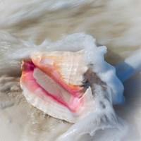 Bahamas, Little Exuma Island Conch Shell In Surf Fine-Art Print