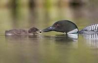 Canada, British Columbia A Common Loon & Chick At Lac Le Jeune Fine-Art Print
