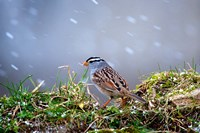 White-Crowned Sparrow In A Spring Snow Storm Fine-Art Print