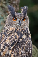Czech Republic, Liberec Eagle Owl Falconry Show Fine-Art Print