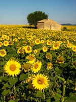 France, Provence, Old Farm House In Field Of Sunflowers Fine-Art Print