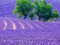 France, Provence, Lavender Field On The Valensole Plateau Fine-Art Print