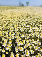 Chamomile Field (Matricaria Chamomilla), Hortobagy National Park In Spring Hungary Fine-Art Print
