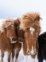 Icelandic Horses With Typical Thick Shaggy Winter Coat, Iceland 12 Fine-Art Print