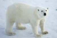 Greenland, Scoresby Sound, Polar Bear Standing On Sea Ice Fine-Art Print
